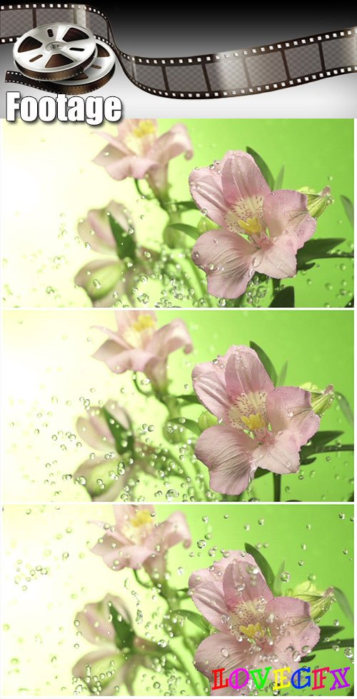 Video footage Blossom pink flower under raindrops on green background