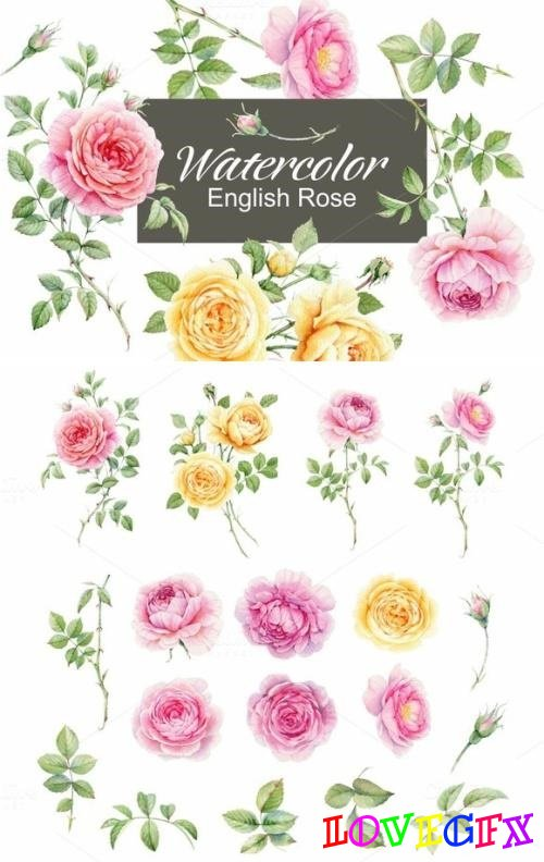 Watercolor english rose 676990